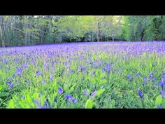 If you hear a bluebell ring...a lovely video about bluebell carpets in #Cornwall. Have you seen any bluebells yet?