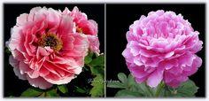 Platonik Aşkın Sembolü Şakayık Çiçeği - (Paeonia Lactiflora) - Forum Gerçek