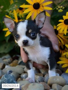 Chihuahua Puppy for Sale in Ohio