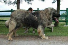 The strongest dog title goes to the Caucasian Shepherd which originated from the North Caucasus regions. The Caucasian Shepherd wins the strongest dogs competition because of its size and it has one if the greatest bite forces of any dogs alive. Massive Dogs, Huge Dogs, Giant Dogs, Massive Dog Breeds, Giant Dog Breeds, Pet Dogs, Dogs And Puppies, Pets, Corgi Puppies