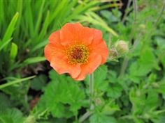 """Geum 'Totally Tangerine' PP22041 