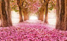 printemps arbres de fleur allée