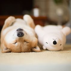 Shiba Inu Maru loves to sleep, especially with his little stuffed polar bear toy. Not only that, Maru always makes sure to nap in the same position as his teddy. Shiba Inu, Bear Toy, Polar Bear, Teddy Bear, Funny Dogs, Cute Dogs, Sleep Teddies, Bored Panda, Stuffed Animals