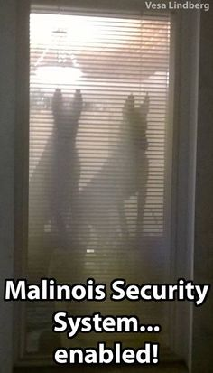 """There is no way I'd try getting through that door as an unwelcome """"guest""""! Berger Malinois, Belgian Malinois Dog, German Malinois, Belgian Shepherd, German Shepherd Dogs, German Shepherds, Funny Dog Memes, Funny Dogs, Funny Animals"""