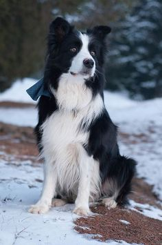 """My beautiful Border Collie boy New Gold Box Zion """"Toby""""..Love him!!"""
