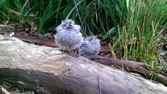 Keeper Nicole snapped up a cute photo of some baby woodswallows.