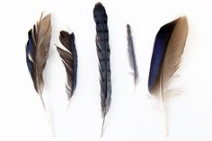 found blue feathers  (mary jo hoffman)