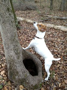 I love Jack Russell Terrier puppies! My little Rain will climb up the tree after the squirrel.