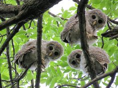 A trio of curious young Barred Owls (Strix varia) look down at the photographer in Minneapolis, Minnesota, USA. Photo by Pat Wolesky from the album: Reader Contributions Beautiful Owl, Animals Beautiful, Owl Bird, Pet Birds, Animals And Pets, Cute Animals, Wild Animals, Baby Bar, Barred Owl