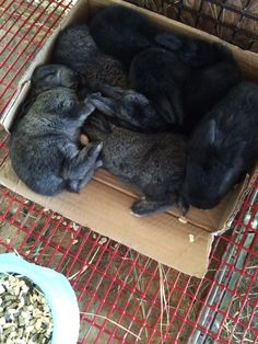 Because crowding into a small cardboard box with your siblings is comfy... Cali the Californian X Cowboy, Mini Rex NZ litter. 8 kits: 3 gold - tipped steel & 5 black kits (some with white tips). DOB: 4/16/15. A few of the best looking kits maybe sold to help locals start their meat rabbit supply and/or pets.
