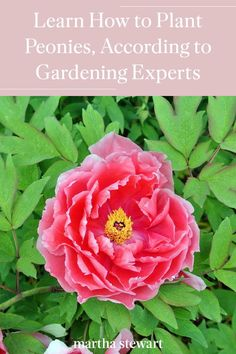 Learn how to plant and take care of peonies, so they bloom all season long and for years to come. Click here for the full peony growing guide and more gardening tips. #gardening #gardenideas #garden #flowergarden #growingflowers