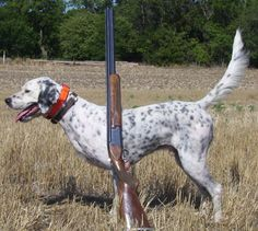 English Setter Dogs For Sale Outback Kennels