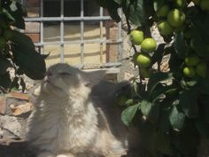 Maine coon girl, beautiful color very nice, and apple tree.