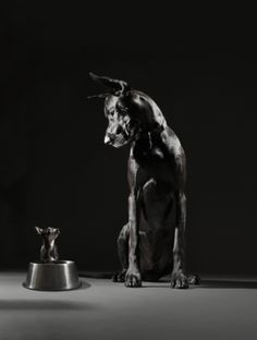 Great Dane and Chihuahua © Lauren Burke, www. Great Dane Rescue, Great Dane Puppy, Weimaraner, Great Dane Facts, Dog Breeds List, Tallest Dog, Gentle Giant, Big Dogs, Dog Life