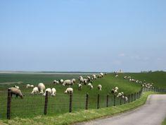 Schafe am Deich kurz vor Pilsum.