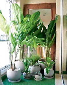Ciclanto Seu caule é quase inexistente, já suas folhas são exuberantes: grandes, largas e com aspecto amassado. Vai superbem em ambientes internos à meia-sombra e não precisa de vasos muito fundos. A umidade é essencial para essa espécie. Uma boa dica é proteger o solo do vaso com casca de pínus, para diminuir a evaporação da água de regas.