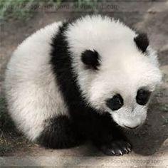 Cute Baby Panda - Bing Images