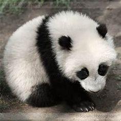 Cute Baby Panda - Bing Images