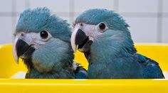 Spixs Macaw (Cyanopsitta spixii), also known as the Little Blue Macaw, is a macaw native to Brazil. Description from imgarcade.com. I searched for this on bing.com/images