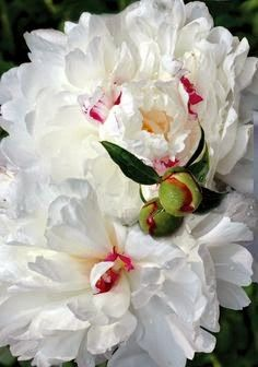 5th and state: Peonies in July, or forever
