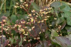 Epimedium 'Black Sea' - From late winter to early spring Epimedium 'Black Sea' produces a profusion of small, delicate-looking flowers on the tips of thread-thin red stalks. The inner petals are primrose yellow, the outer, paler sepals are washed with orange-red. New leaves soon follow and mature to attractive blue-green. The most remarkable feature of the foliage is the inky purple-black coloring that 'bleeds' into each leaf with the onset of cooler temperatures and frost.