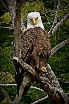 #Bald #Eagle Stare Down. Photography of @Jim Schachterle @Bavosi.