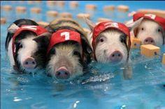 Teacup Piglets