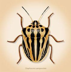 Ilustración científica: Trilobites Tricrepicephalus illustration