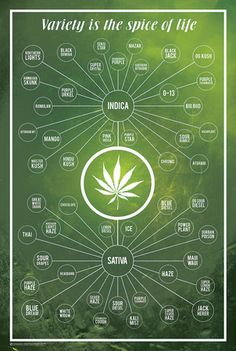 Cannabis- Variety Is The Spice Of Life Poster 24 x Cannabis Variety Is The Spice of Life Marijuana Chart Poster Cannabis Plant, Cannabis Oil, Medical Cannabis, Thc Oil, Weed Types, Cannabis Cultivation, Ganja, Medical Marijuana, Herbs