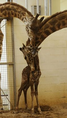 A baby giraffe and it's parents....