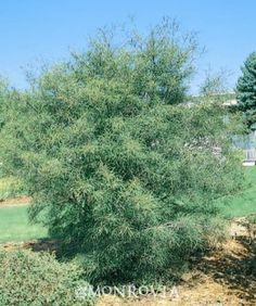 Narrow Leaf Buckthorn (Rhamnus frangula 'Asplenifolia') - Monrovia - fragrant, slow growing 10-12' x 6-10'