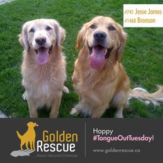 What's better than one golden in the sun? Two goldens in the sun! 💛 What are you looking forward to most this week? Happy #tongueouttuesday 😋 #goldenretriever #adoptdontshop #rescuedog We Are Golden, Jesse James, Second Chances, Rescue Dogs, Happy, Animals, Jessie James, Animales, Animaux