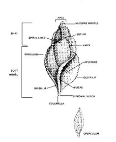 Razor Clam Anatomy | + + diagrams + charts + + | Pinterest