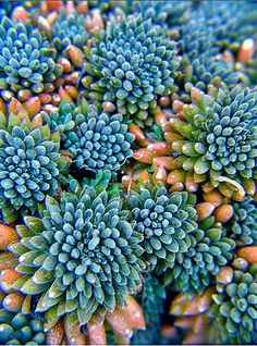 Colours I like of succulents   Sedum indicum