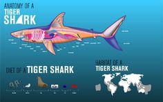 Žralok tygří anatomie, potrava, výskyt #fakt #tigershark #sharkweek