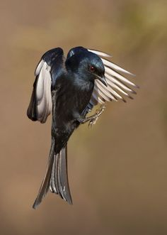 he Fork-tailed Drongo, also called the Common Drongo, African Drongo, or Savanna Drongo (Dicrurus adsimilis), is a drongo, a type of small passerine bird of the Old World tropics. The species was earlier considered to cover Asia, but the Asian species is now called the Black Drongo