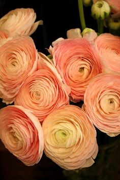 (123) Ranunculus - Persian Buttercup's Photos - Ranunculus - Persian Buttercup