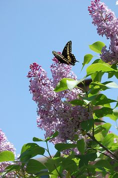 the scent of lilacs and the arrival of butterflies means summer is here. Lots of lilacs in Colorado.