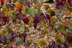 Cercis 'Forest Pansy' autumn colours