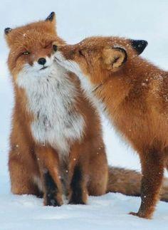 Amor entre 2 zorros, criaturas hermosas.