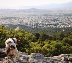 She was found outside of a grocery store emaciated unable to walk and with a mammary tumor the size of a volleyball in February.  She's doing better now :) #rescuedog #adoptanolderdog #ilovemydog #epagneulbreton #Athens #fromthetop #springinthecity #tv_pointofview #greecestagram #athensvoice #reasonstovisitgreece #getoutdoors #dogsonadventures #hikingdogsofinsta #hikingwithdogs #minibokeh