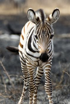 """""""A Zebra of a Different Color!"""" ~ Photography by TrekLightly on Flickr."""