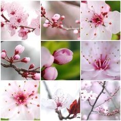 cherry blossom pink buds - Google Search