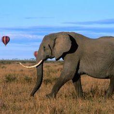 Make an elephant tusk craft using a few basic craft materials.