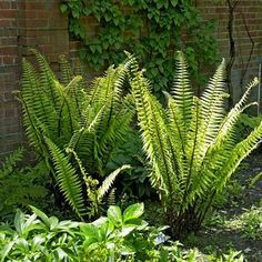 Dryopteris wallichiniana