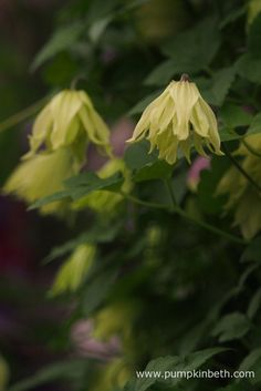 Clematis koreana AMBER is a very special, fully hardy, Clematis…