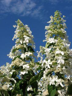 http://kc-kvbc.nl/hydrangea-paniculata-levana/