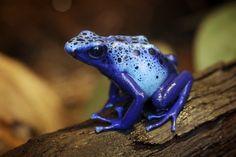 """La rana """"punta de flecha"""", la más venenosa del mundo. Un simple contacto con su viscosa piel produce la muerte inmediata."""