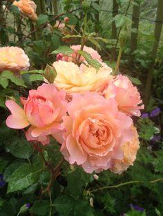~Rose de Gerberoy