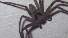 Giant Spiders in the Philippines Bit Me on the Lip Huntsman Spiders in ...